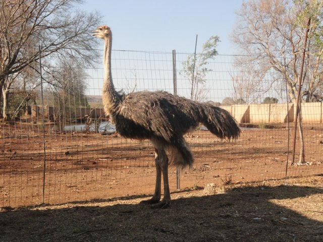 CURIOUS-OSTRICHES-WELCOMES-YOU-AS-YOU-ARRIVE