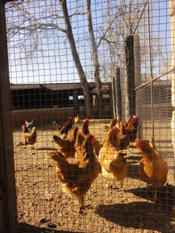 rhode island red are the perfect breed for fresh organic eggs